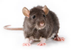 rodent control from menehune pest management hi