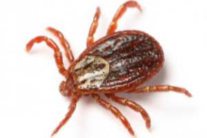 fleas ticks from menehune pest management hi