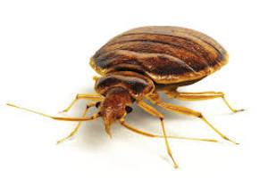 bed bugs from menehune pest management hi